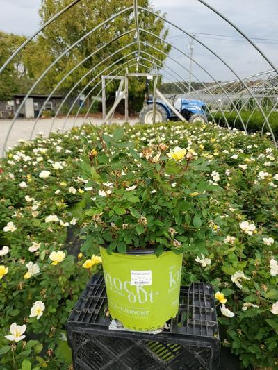 Rosa 'Sunny Knockout' - 2 Gal. Crop Shot for 2020-40