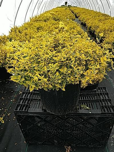 Euonymus fortunei 'Emerald N Gold' - 3 Gal. Crop Shot for 2020-19