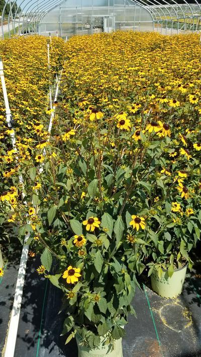Rudbeckia triloba - 2 Gal. Crop Shot for 2019-32