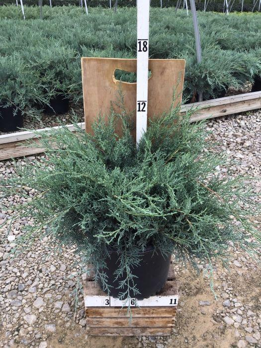 Juniperus virginiana 'Grey Owl' - 3 Gal. Crop Shot for 2020-37