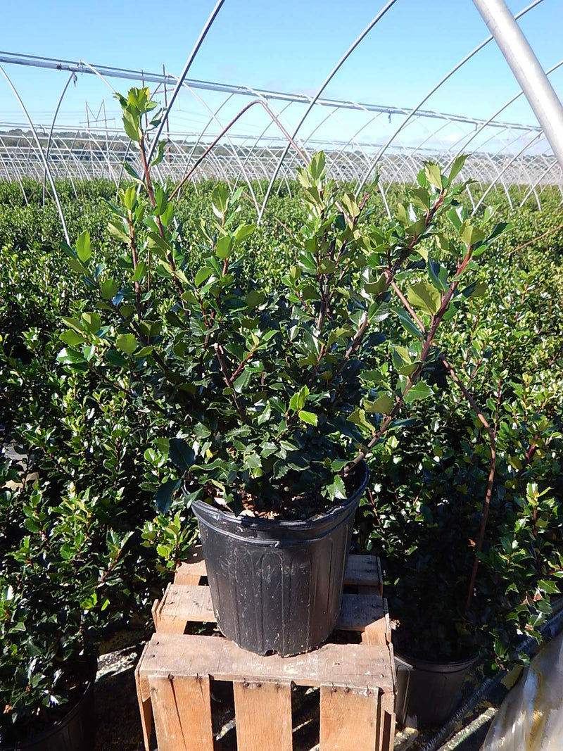 Ilex X meserveae 'Blue Prince' - #2 Crop Shot for 2017-40