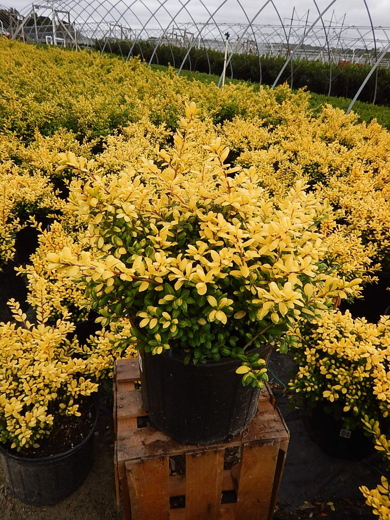 Ilex crenata 'Drops Of Gold' - #3 Crop Shot for 2017-39
