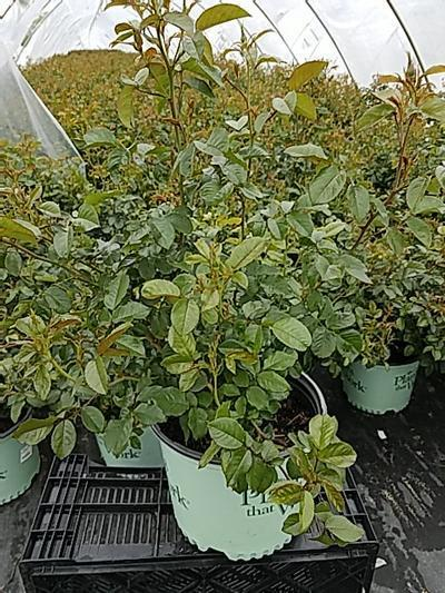 Rosa Red Streamer - Climber NEW - 3 Gal. Crop Shot for 2020-21