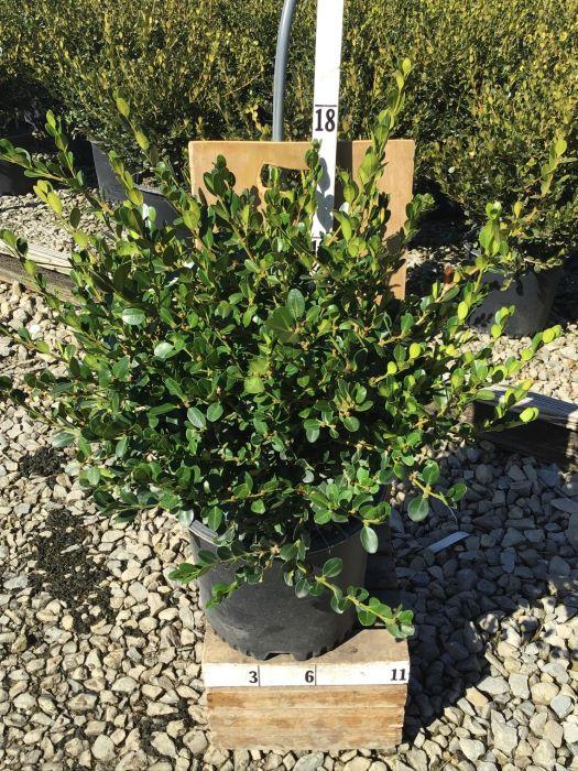 Buxus microphylla 'Winter Gem' - 3 Gal. Crop Shot for 2020-41