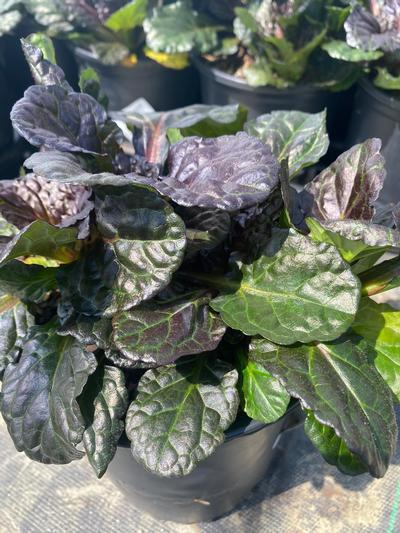 Ajuga reptans 'Black Scallop' - 1 Gal. Crop Shot for 2020-30