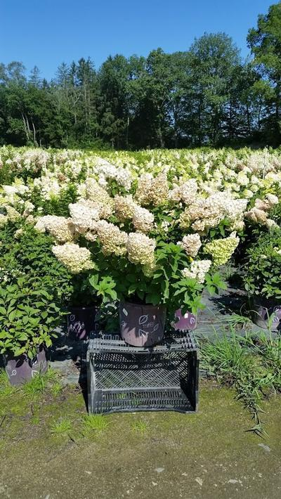 Hydrangea paniculata 'Strawberry Sundae®' - 5 Gal. Crop Shot for 2019-33