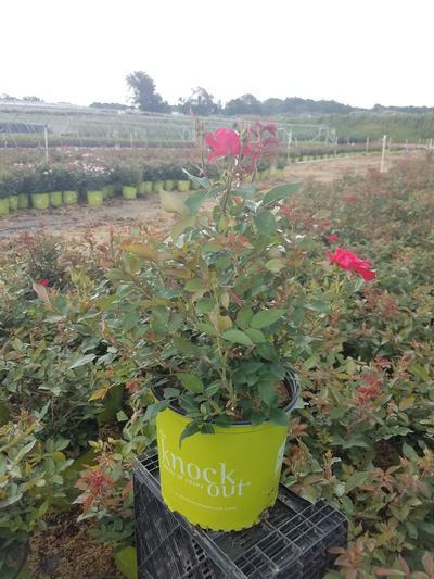 Rosa Knockout - 3 Gal. Crop Shot for 2019-27
