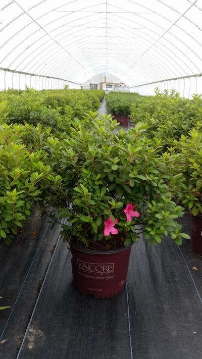 Rhododendron (Azalea) Encore® 'Autumn Sangria™' - 3 Gal. Crop Shot for 2019-39