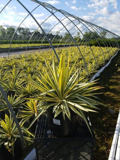 Yucca filamentosa 'Color Guard' - 3 Gal. Crop Shot for 2020-23