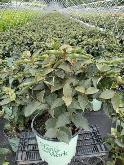 Viburnum carlesii Spice Island® NEW - 3 Gal. Crop Shot for 2020-32