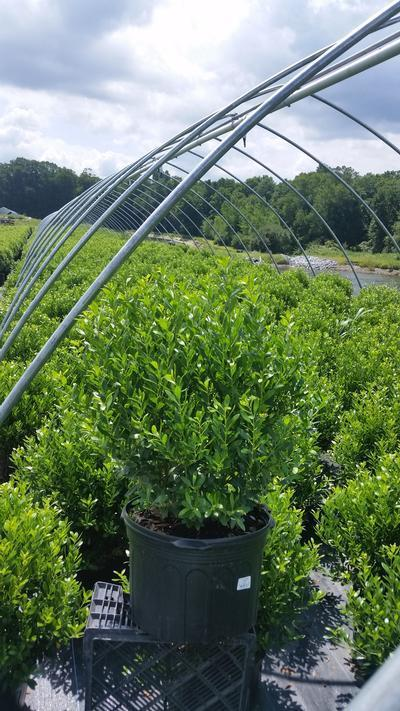 Ilex glabra 'Densa' - 5 Gal. Crop Shot for 2019-27