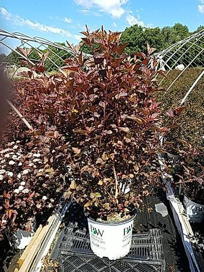 Physocarpus opulifolius 'Ginger Wine™' - 3 Gal. Crop Shot for 2020-23
