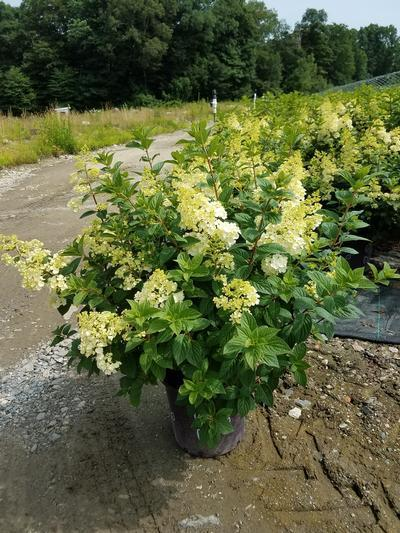 Hydrangea paniculata 'Strawberry Sundae®' - 5 Gal. Crop Shot for 2019-27