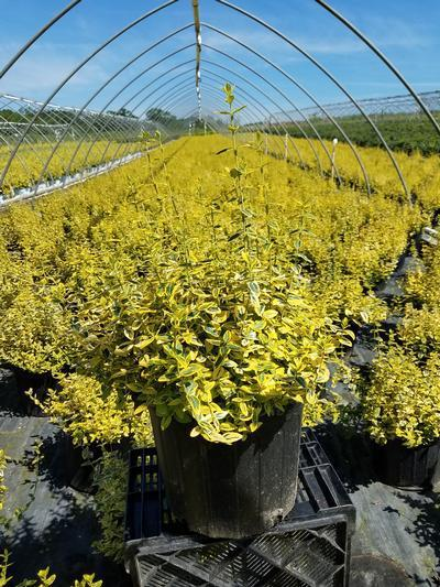Euonymus fortunei 'Emerald N Gold' - 3 Gal. Crop Shot for 2019-25