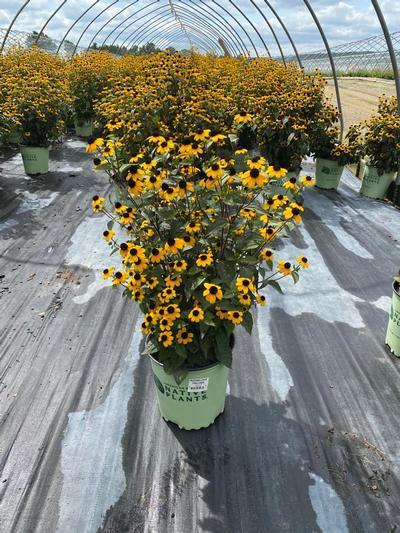 Rudbeckia triloba - 2 Gal. Crop Shot for 2020-34