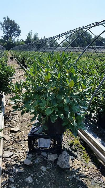 Rhododendron catawbiense 'Nova Zembla' - 5 Gal. Crop Shot for 2019-33