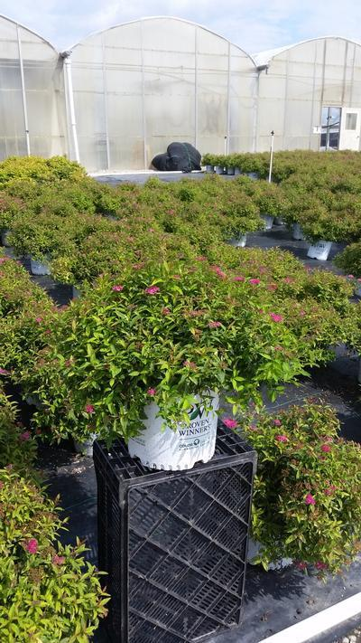 Spiraea Double Play 'Painted Lady' - 3 Gal. Crop Shot for 2019-35