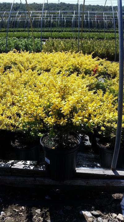 Ilex crenata 'Drops Of Gold' - 2 Gal. Crop Shot for 2019-38