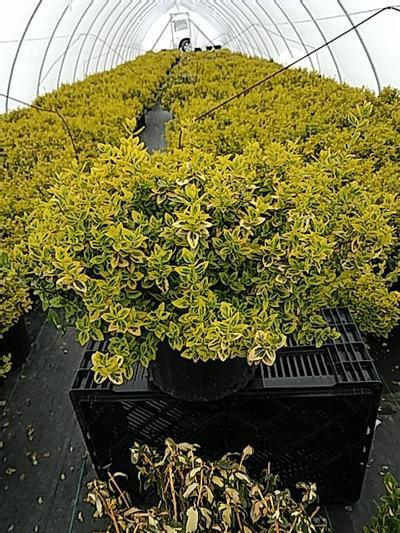 Euonymus fortunei 'Emerald N Gold' - 3 Gal. Crop Shot for 2020-17
