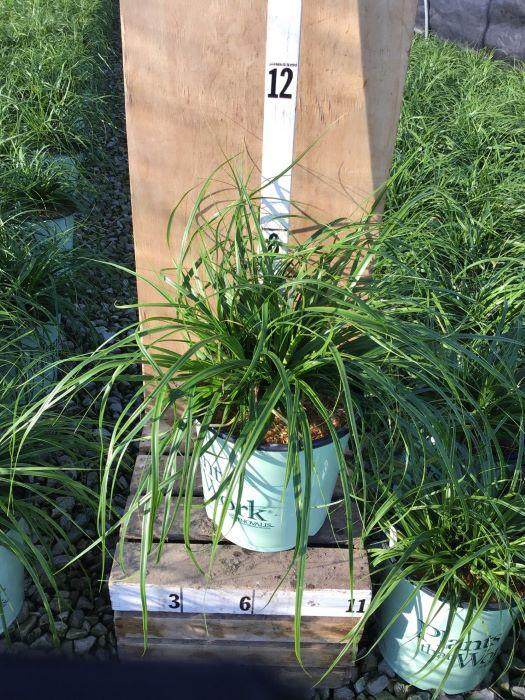Carex oshimensis Evercolor® 'Everlime' - 8 Inch Crop Shot for 2020-31