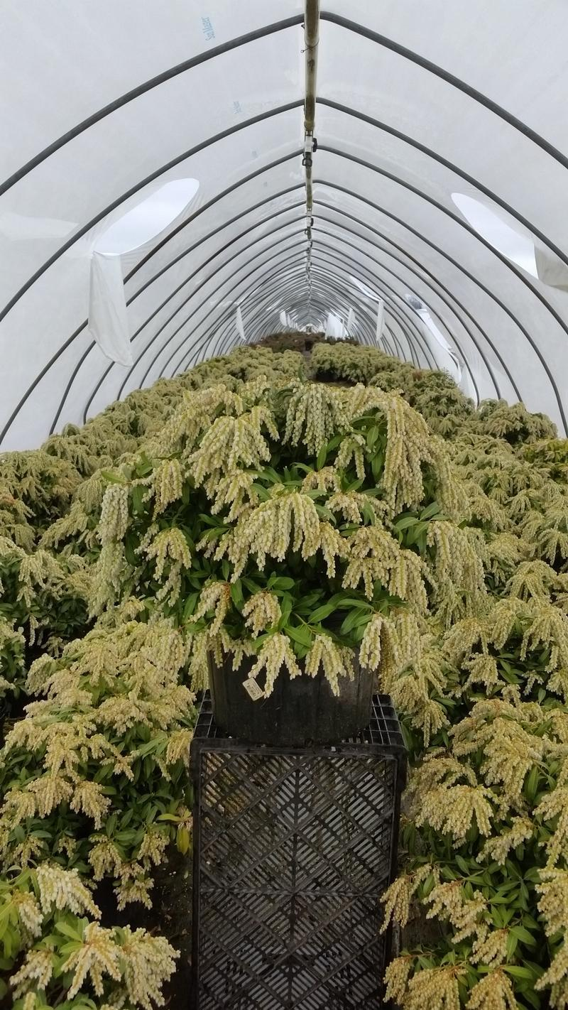 Pieris japonica 'Avalanche' - 5 Gal. Crop Shot for 2019-14