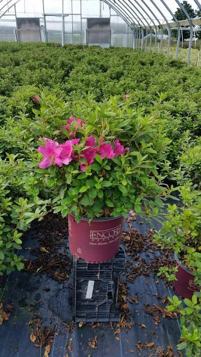 Rhododendron (Azalea) Encore® 'Autumn Sangria™' - 3 Gal. Crop Shot for 2019-33