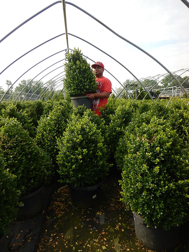 Buxus X 'Cranberry Creek' - #7 Crop Shot for 2017-31