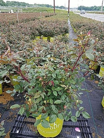 Rosa 'Coral Knock Out®' - 2 Gal. Crop Shot for 2020-22
