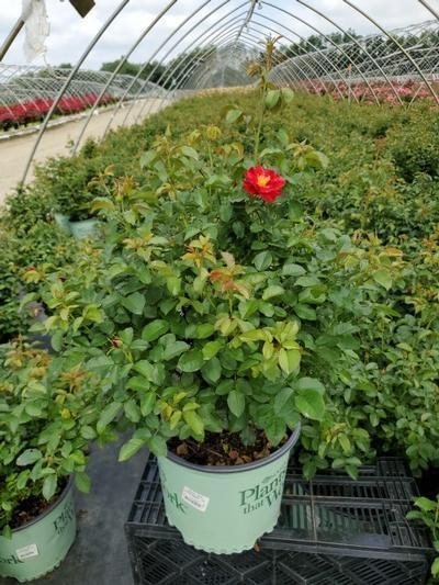 Rosa Red Streamer - Climber NEW - 3 Gal. Crop Shot for 2020-28