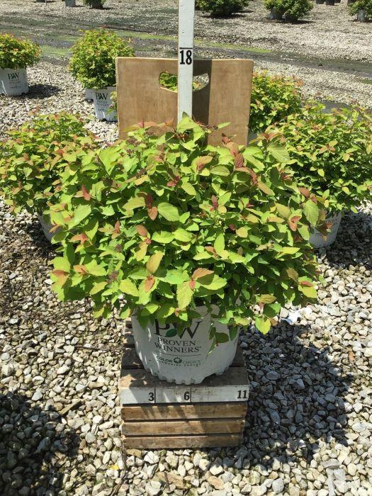 Spiraea japonica 'Double Play Big Bang' - 3 Gal. Crop Shot for 2020-28