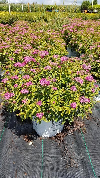 Spiraea Double Play 'Painted Lady' - #3 Crop Shot for 2018-31