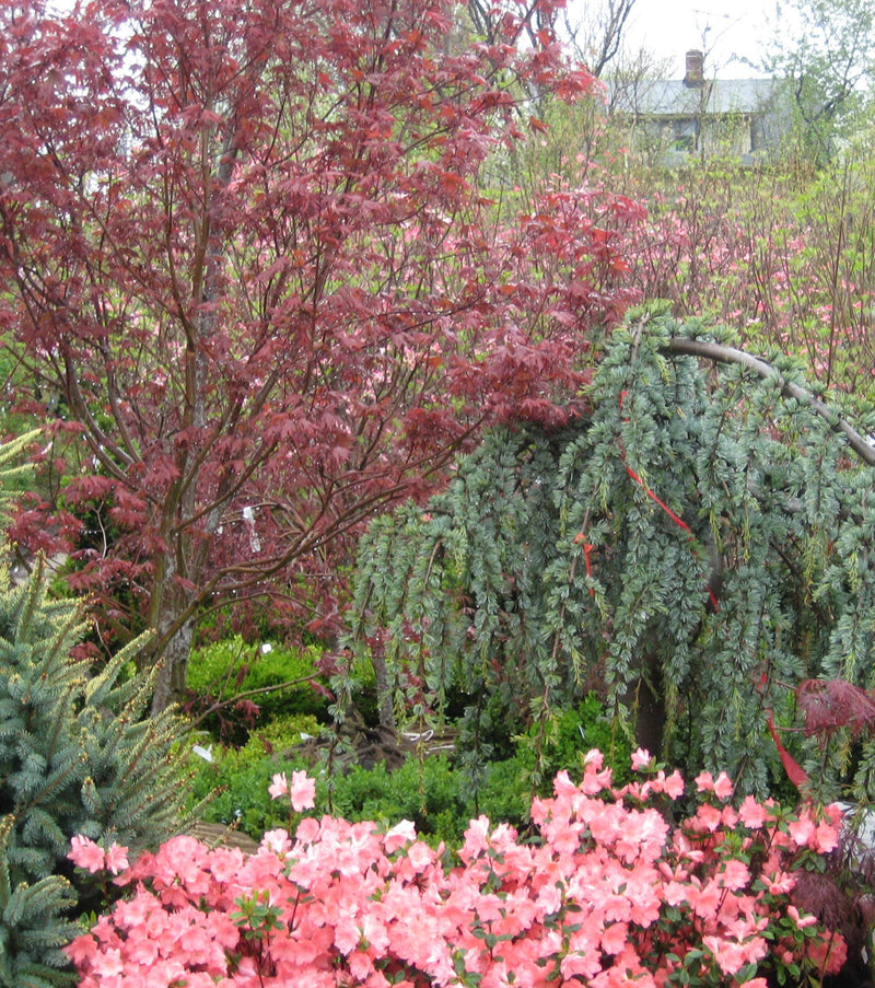 Acer palmatum 'Bloodgood' - 7 Gal. Low Branched