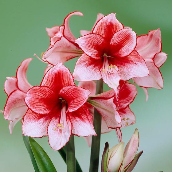 Amaryllis 'Charisma' - Bulk Box of 25 Bulbs