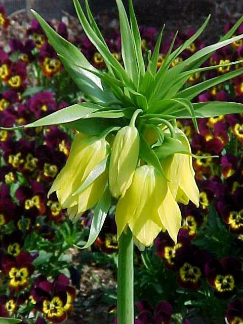 Crown Imperial 'Yellow Cheerfulness' - Bulk Box of 15 Bulbs
