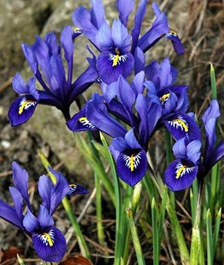 Iris - Bearded 'Harmony ' - Bulk Box of 150 Bulbs
