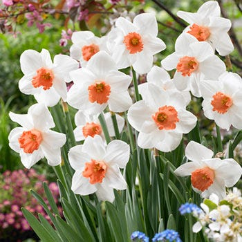 Daffodil 'Cool Flame' - Bulk Box of 75 Bulbs