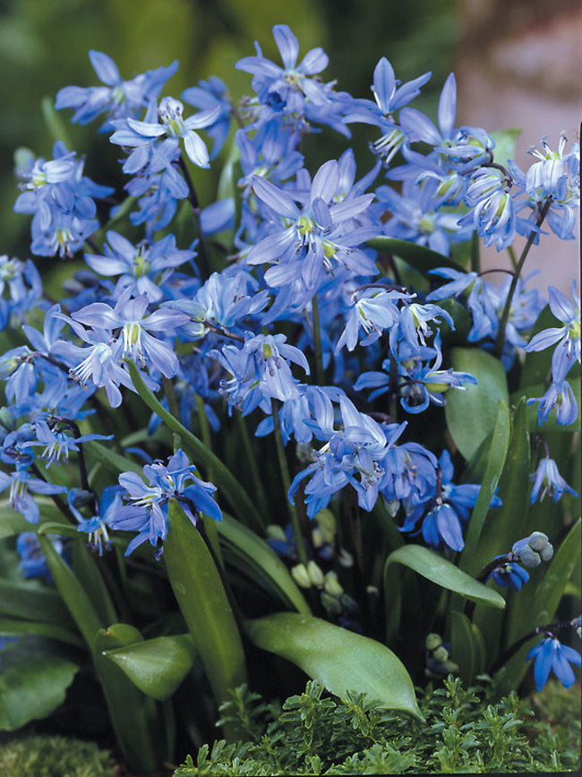 Wood Hyacinth 'Siberica' - Bulk Box of 150 Bulbs