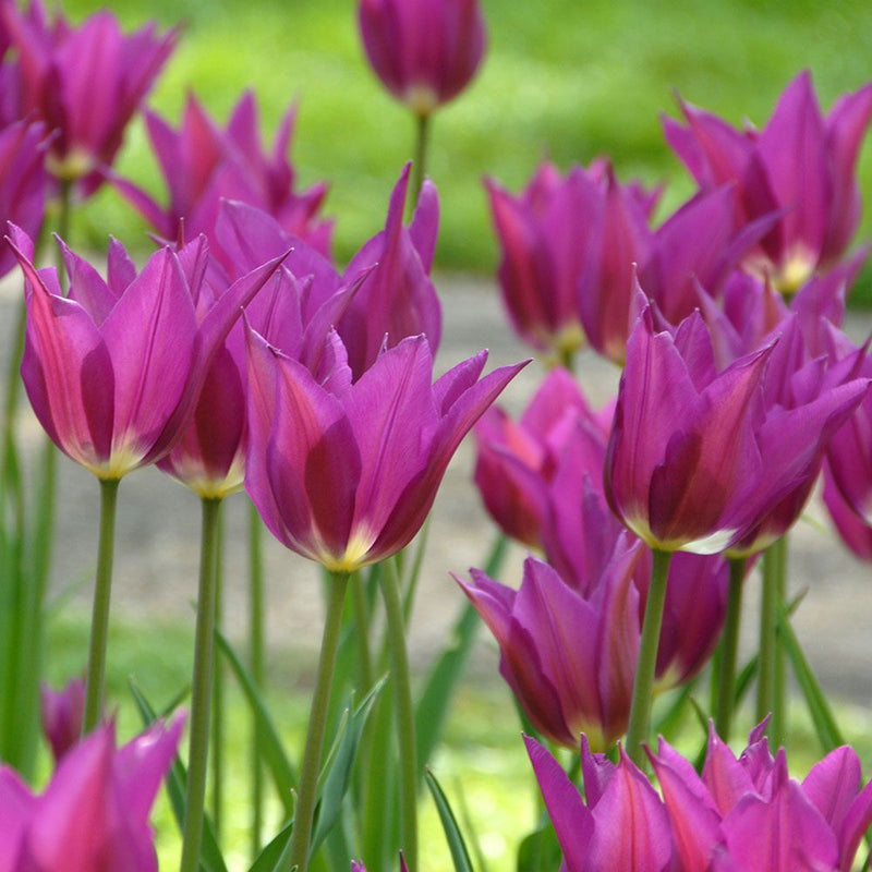 Tuplip 'Purple Dream' - Bulk Box of 100 Bulbs