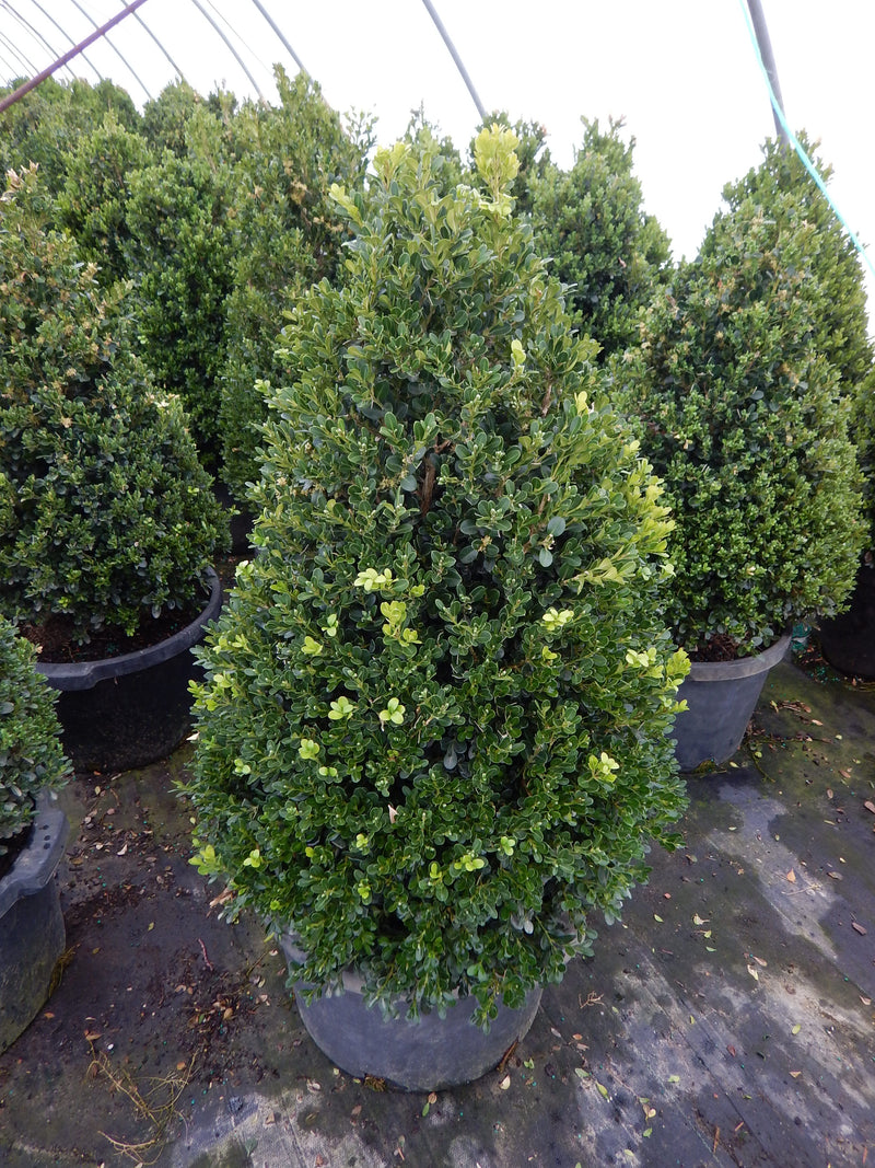 Buxus x 'Cranberry Creek' - 7 Gal.