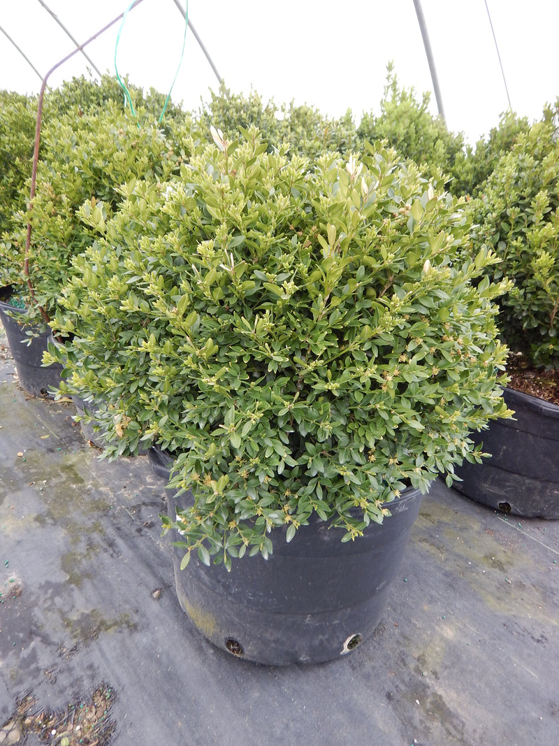 Buxus microphylla var. japonica 'Green Mountain' - 10 Gal.