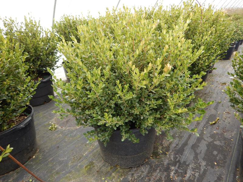 Buxus microphylla 'Winter Gem' - 10 Gal.