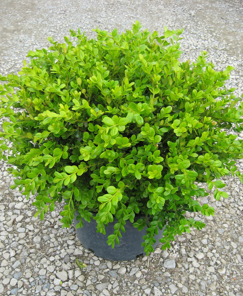 Buxus microphylla 'Winter Gem' - 7 Gal. Squat Pot