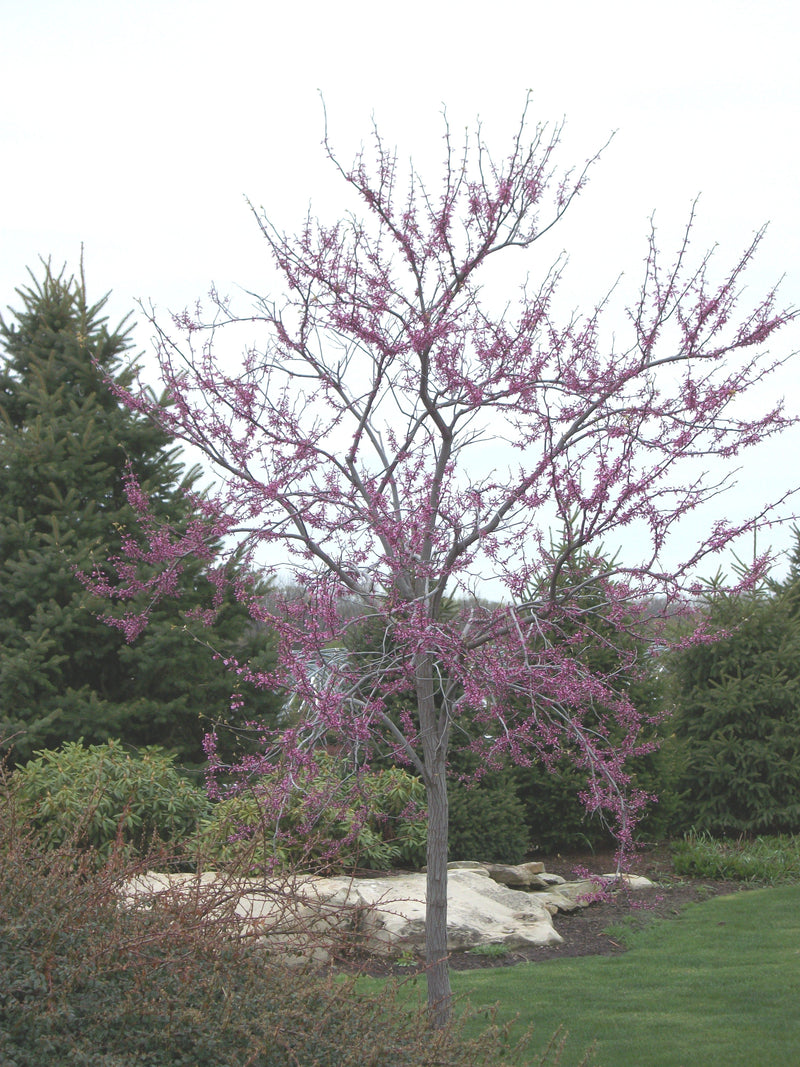 Cercis canadensis - 7 Gal.
