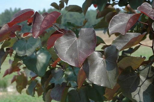 Cercis canadensis 'Merlot' - 5 Gal. Low Branched