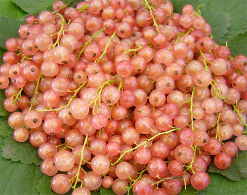 Ribes rubrum 'Pink Champagne'-#2 Container<br />Pink Champagne Currant