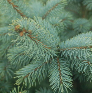 Picea pungens 'Baby Blue'-#7 Container<br />Baby Blue Blue Spruce