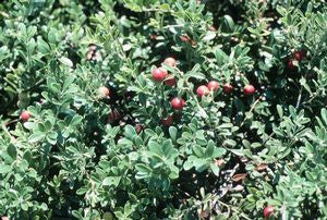 Arctostaphylos uva-ursi 'Massachusetts Hybrid'-#1 Container<br />Massachusetts Hybrid Kinnickinnick, Bearberry