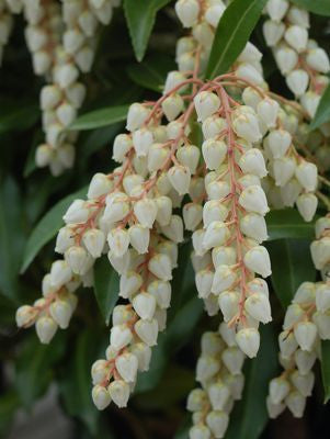Pieris japonica 'Compacta'-#2 Container<br />Compact Japanese Andromeda