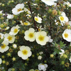 Potentilla fruticosa 'Primrose Beauty'-#3 Container<br />Primrose Beauty Cinquefoil
