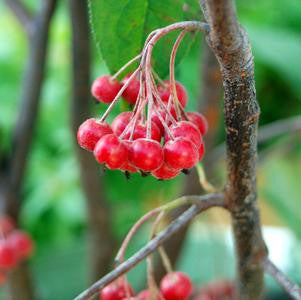 Aronia arbutifolia 'Brilliantissima'-#2 Container<br />Brilliantissima Red Chokeberry